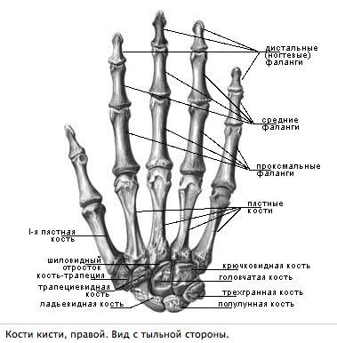 Какие из костей запястья образуют суставы с первой пястной костью лечение суставов по ванге