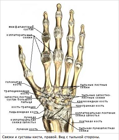показать суставы рук